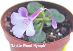 'Little Wood Nymph'